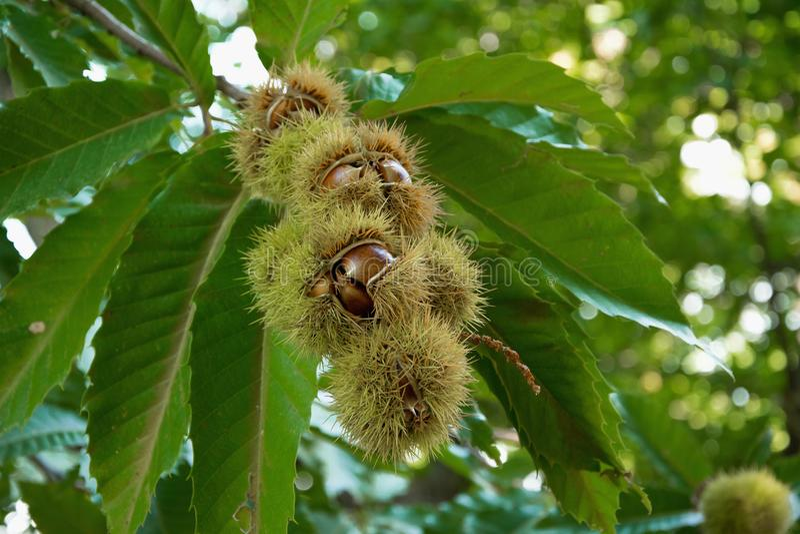 Сырцовые каштаны на дереве, есть концепцию, еда клейковины свободно сырцовая стоковые изображения