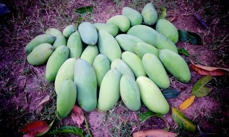 Сырцовые манго стоковое фото