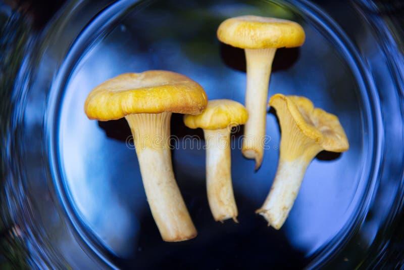 Сырцовые одичалые грибы лисички стоковое фото