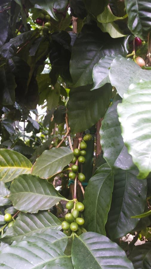 Сырцовые свежие кофейные зерна в дереве кофе стоковое фото