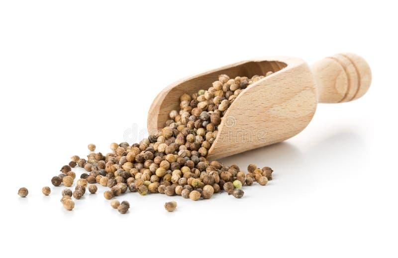 Сырцовые, unprocessed органические кориандр или семена cilantro в деревянном s стоковая фотография rf