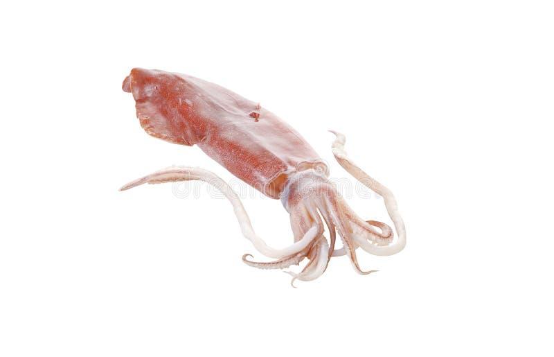 сырцовый кальмар стоковое изображение rf