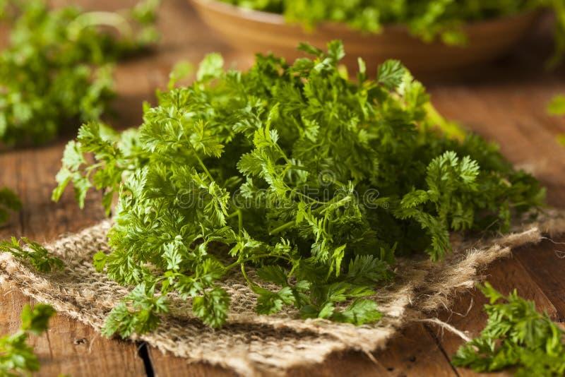 Сырцовый органический французский кервель петрушки стоковые фото