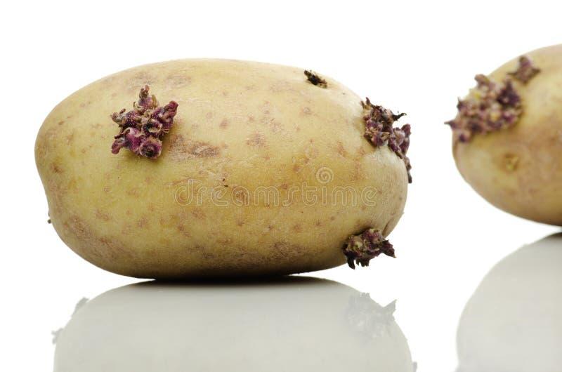 Сырые картошки на белой предпосылке стоковое фото rf