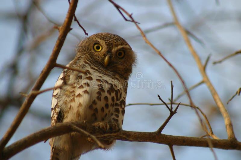 Сыч или Owlet запятнанные жемчугом стоковые фотографии rf