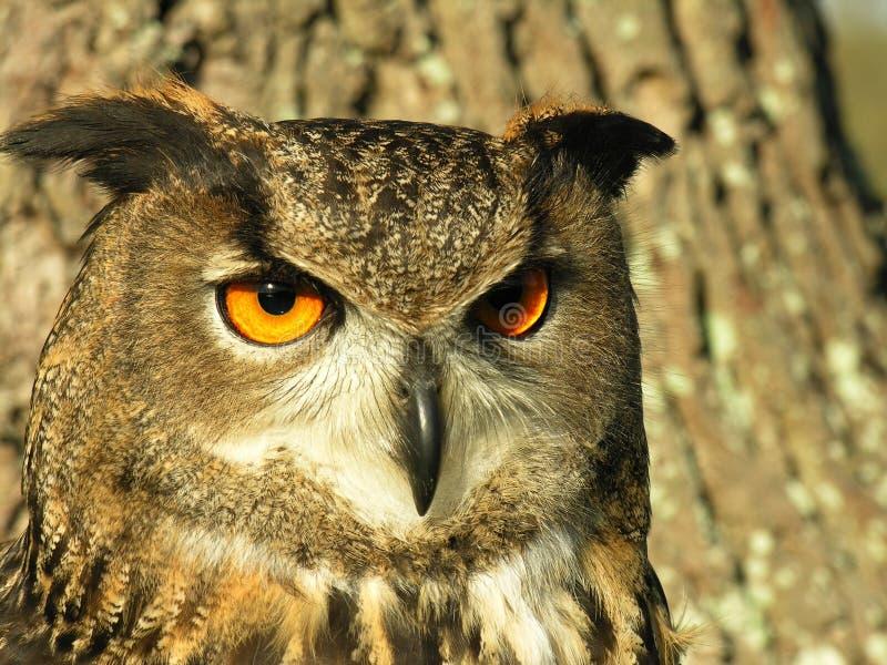 сыч орла стоковое изображение rf