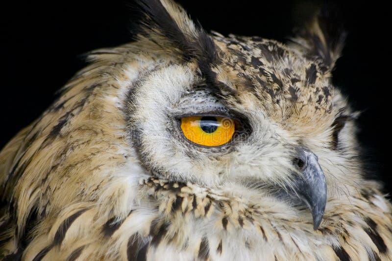 сыч орла стоковая фотография rf