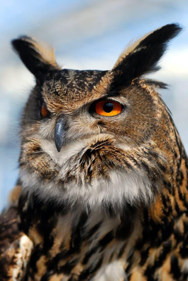 сыч орла стоковые фотографии rf