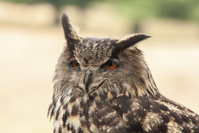 Сыч орла, bubo Bubo, хищная птица стоковые изображения