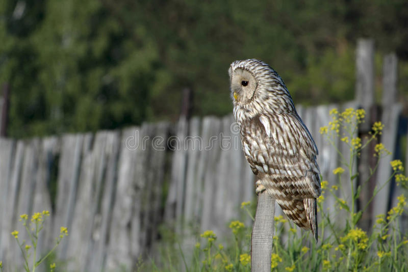 Сыч орла Owl/An стоковое изображение