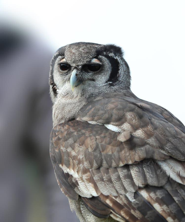 Сыч орла ` s Verreaux стоковое фото
