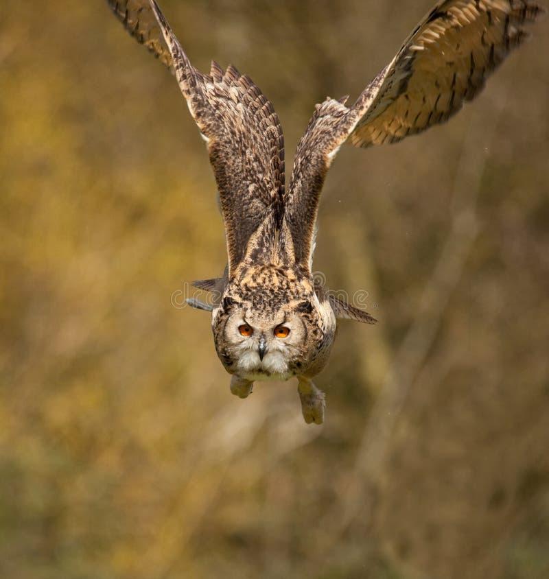 сыч полета 3 орлов стоковая фотография rf