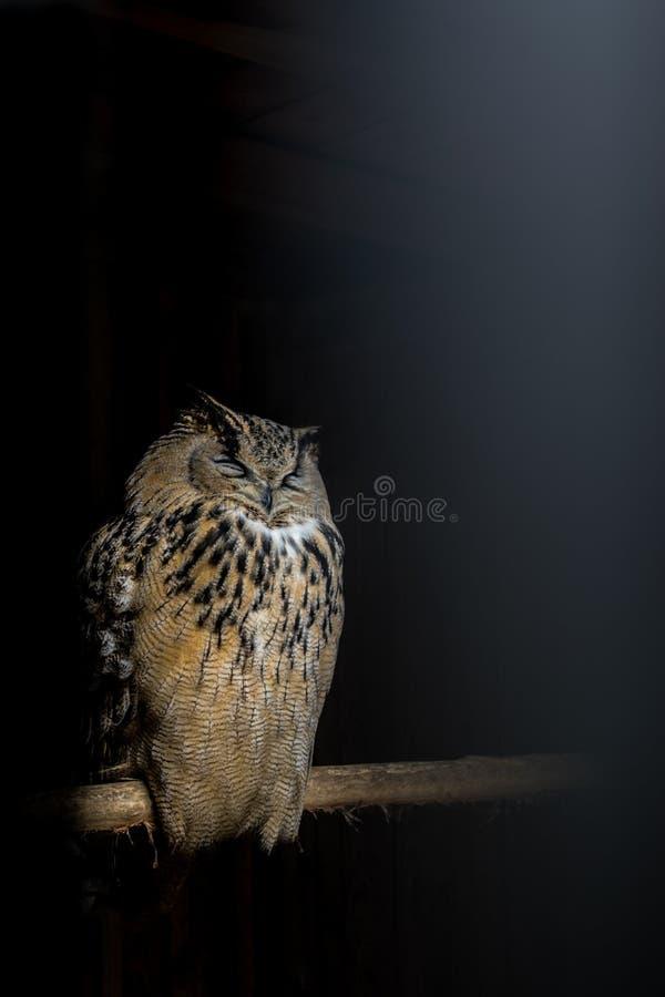 Сыч спать в темноте на ручке стоковая фотография