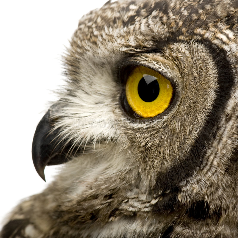 сыч 8 месяцев орла bubo africanus запятнал стоковые фотографии rf