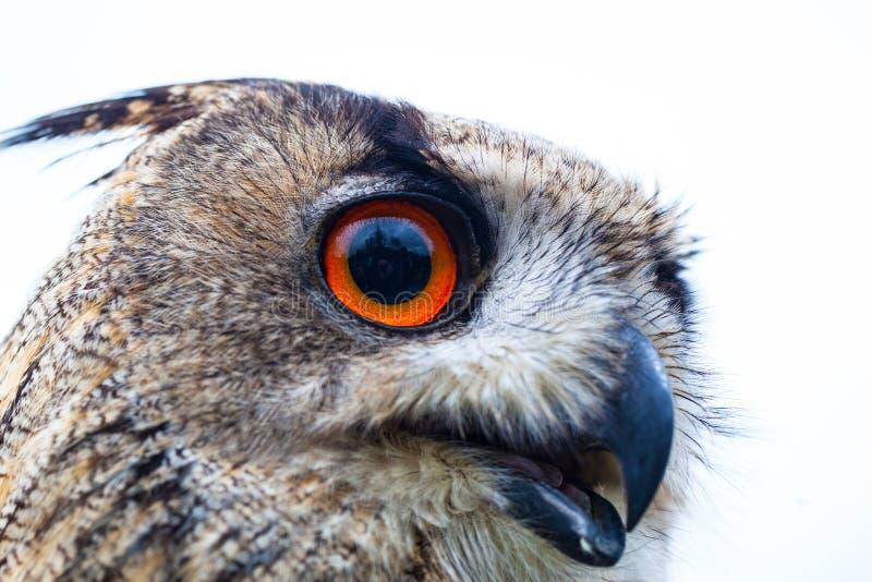 Сыч Horned сыча или орла стоковое фото