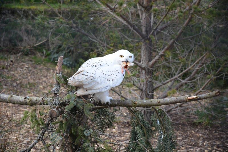 Сыч Snowy есть цыпленок стоковая фотография