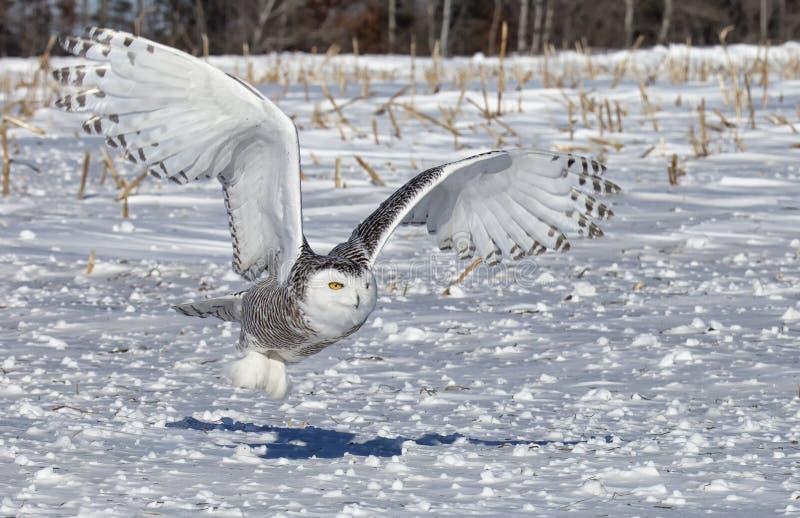 Сыч Snowy стоковое изображение