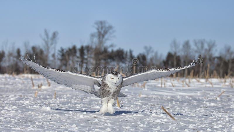 Сыч Snowy стоковая фотография