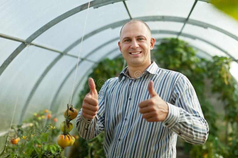 Сь человек в заводе томатов стоковые изображения rf