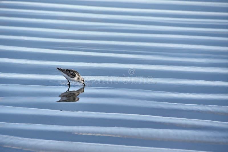Сэндпайпер в мелководье стоковая фотография rf