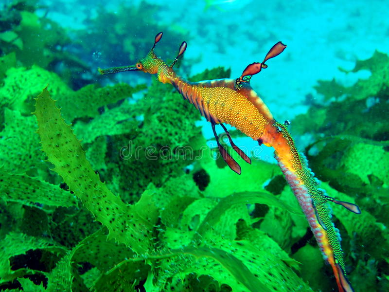 Слабое Seadragon стоковое изображение rf