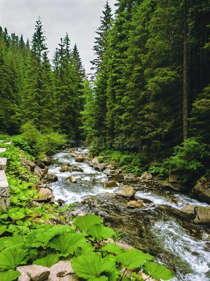Славная сцена с рекой Prut горы в зеленом прикарпатском лесе стоковая фотография