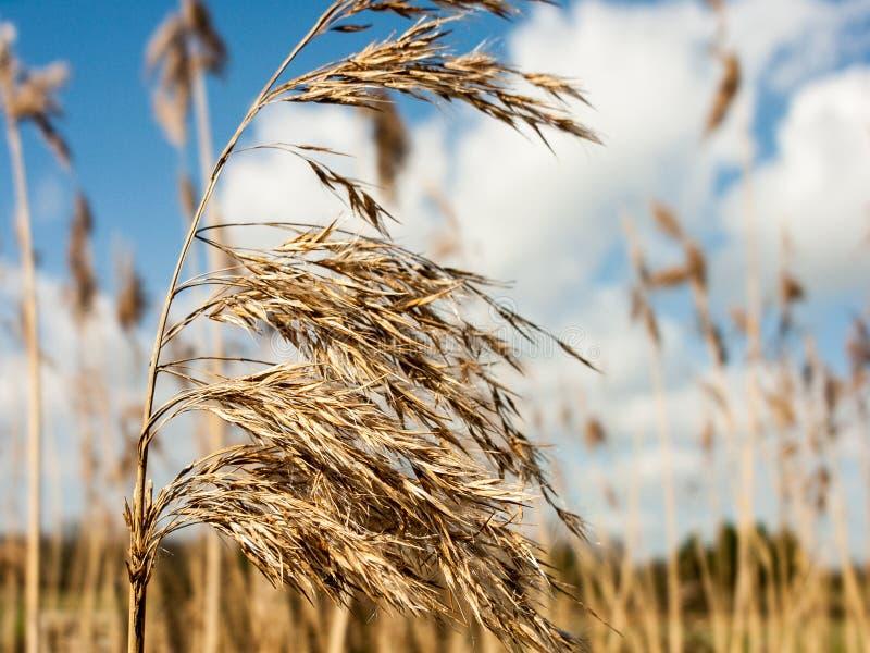 Славные и золотые тростники в солнце лета стоковая фотография