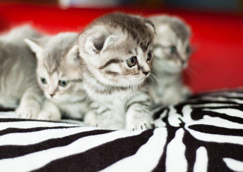 Славные котята великобританской породы стоковые изображения rf