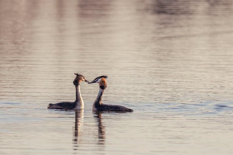 Славные пары больших Crested птиц поганковых на пруде стоковое изображение rf