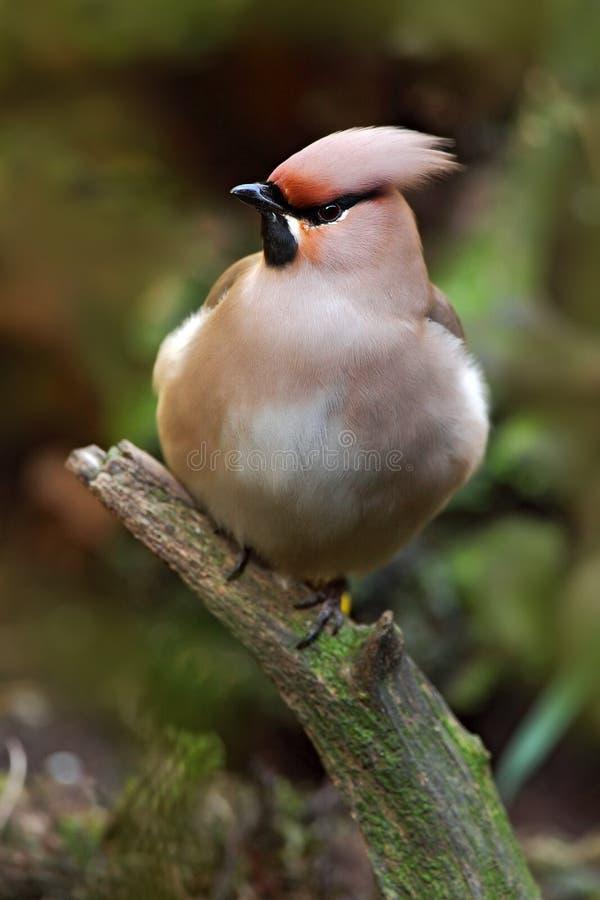 Славный Waxwing птицы стоковые изображения rf