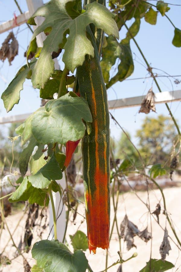 Download Сладостная тыква стоковое фото. изображение насчитывающей экзотическо - 37930444