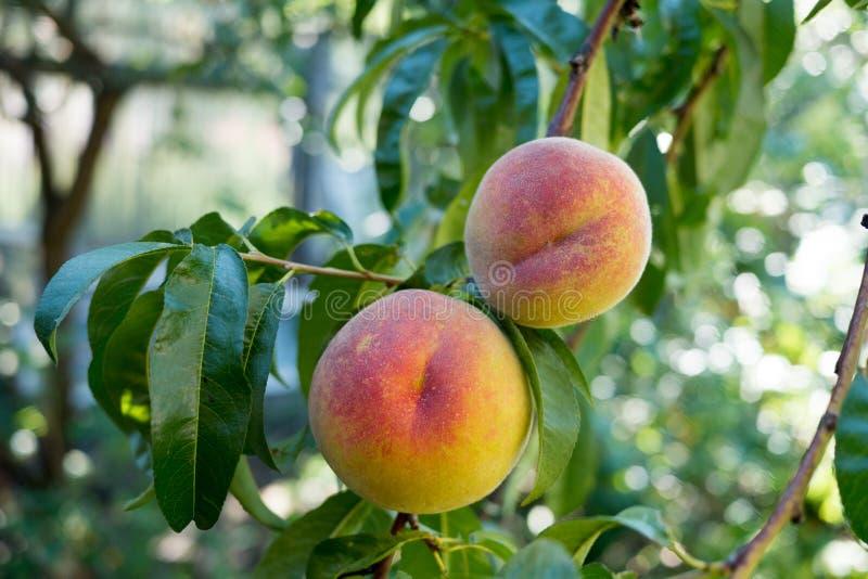 Сладостные плодоовощи персика зреют на ветви персикового дерева стоковое фото