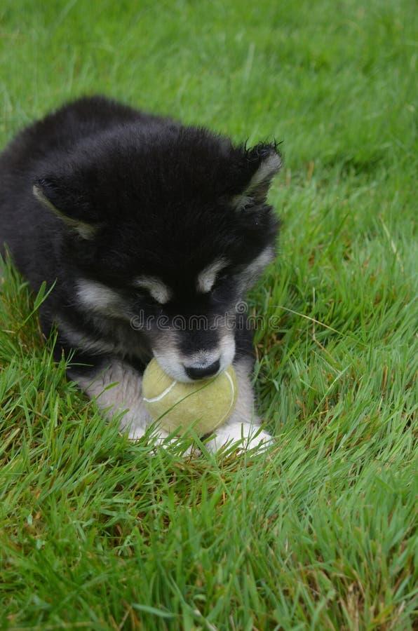 Сладостный щенок Alusky отдыхая в траве с теннисным мячом стоковое изображение