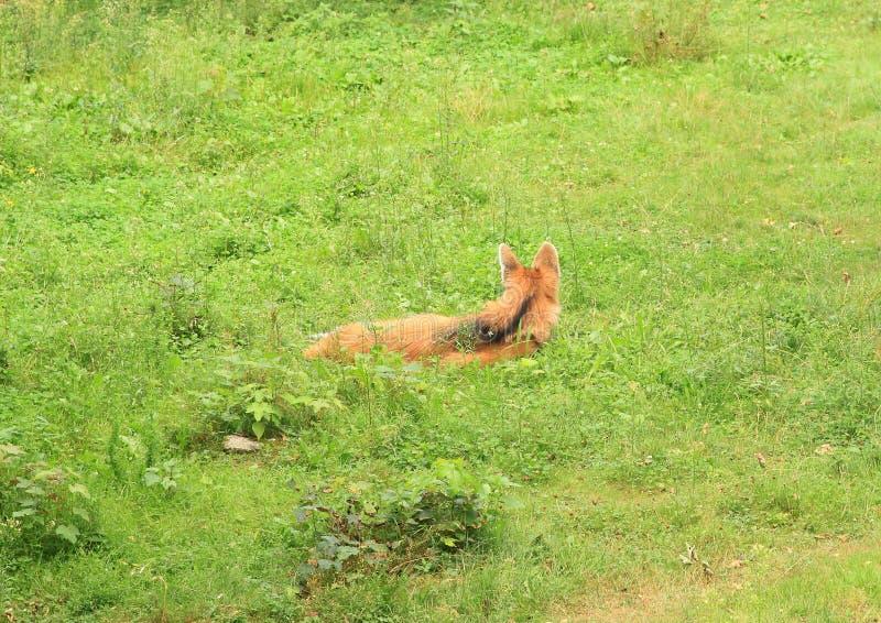 С гривой волк лежа на траве стоковое изображение rf