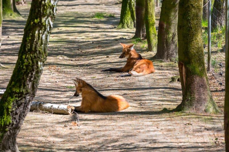 С гривой wolfs стоковая фотография