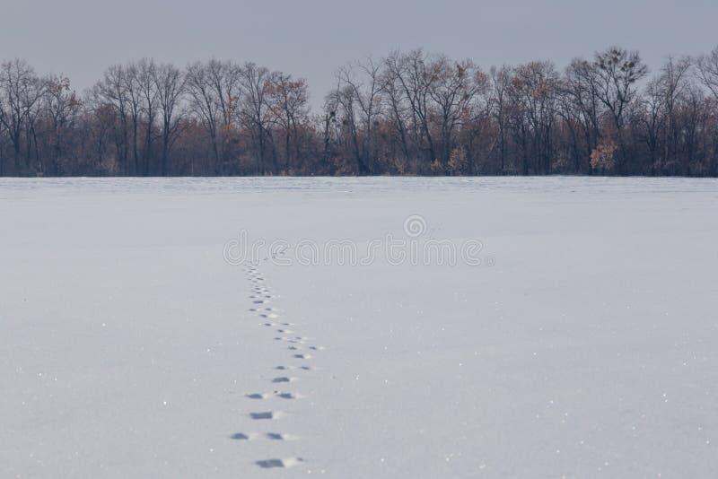 Следы зайцев на чистом поле снега Чуть-чуть лес на снежном горизонте стоковые изображения