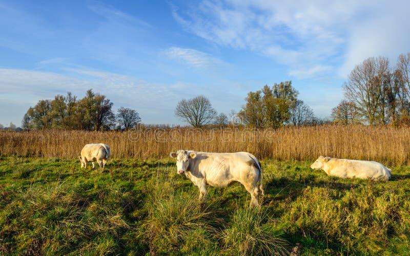3 сливочного цвета коровы пася в голландском заповеднике стоковое фото