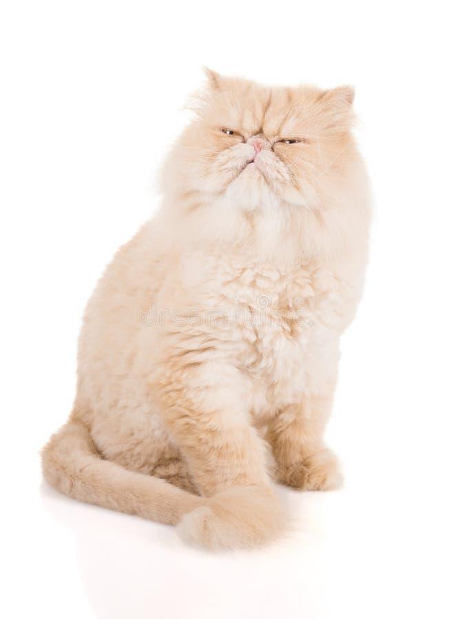 Сливочного цвета персидский кот с обеспокоенные взгляды стороны стоковая фотография