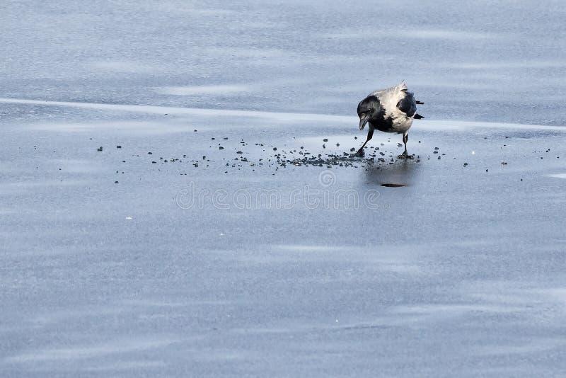 С капюшоном ворона ища еда на льде замороженного озера стоковые изображения rf