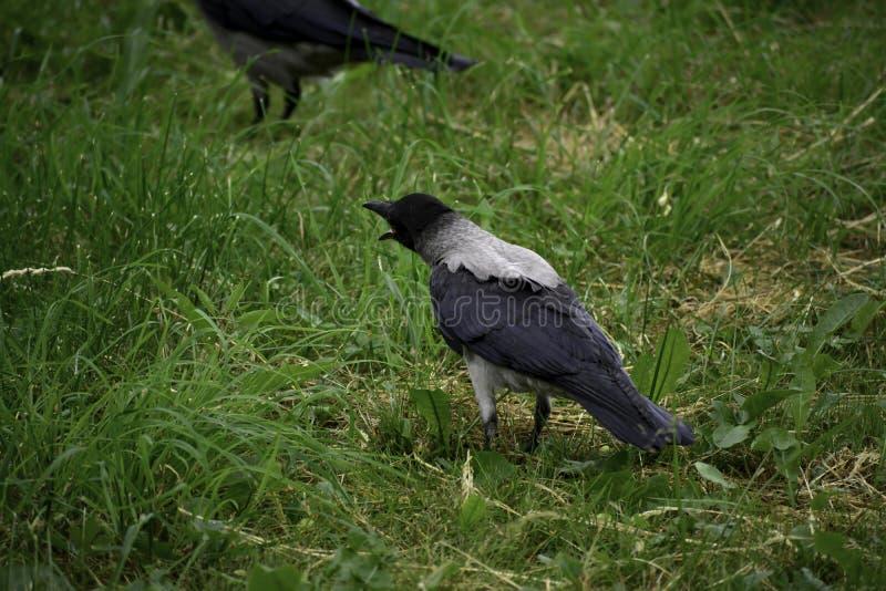 С капюшоном крона ( corvus cornix) показывает доказательное поведение стоковые изображения rf