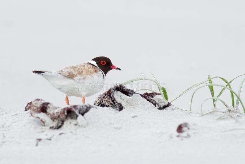 С капюшоном ржанка - shorebird cucullatus Thinornis малый - wader - на песчаном пляже Австралии, Тасмании стоковые изображения rf