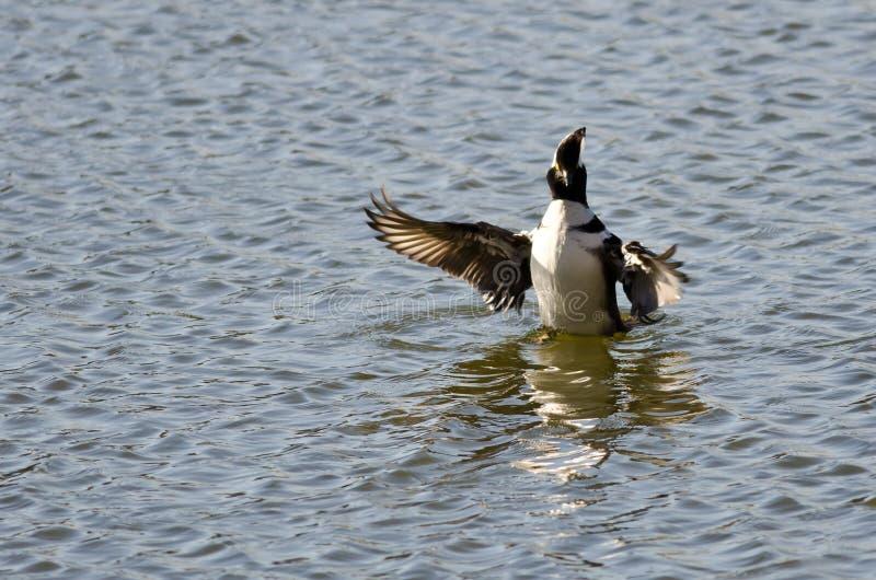 С капюшоном Merganser плавая с протягиванными крылами стоковая фотография rf