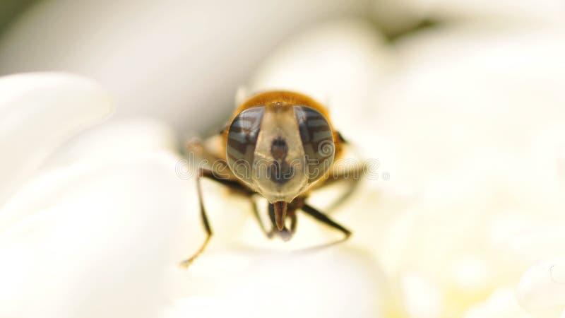 Сложный глаз овода стоковое изображение