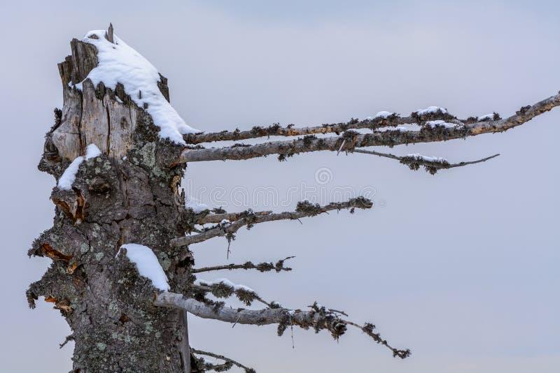 Сломанное зимой дерево хобота Предпосылка с сухое интересное форменным стоковое фото rf