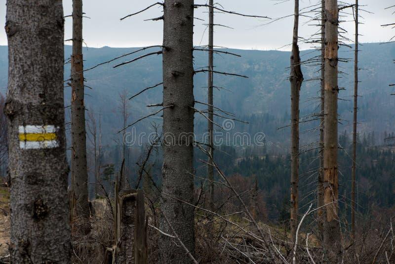 Сломленное дерево завяло вверху силезское Beskid в ar стоковое фото rf