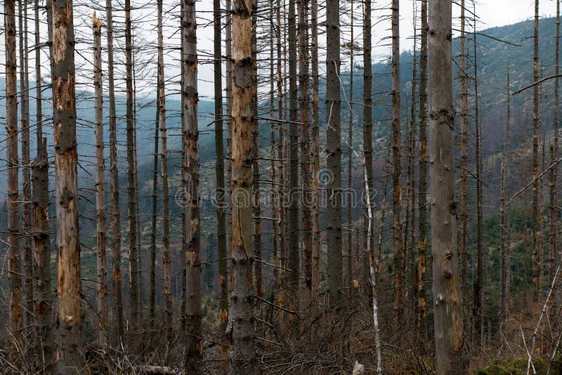 Сломленное дерево завяло вверху силезское Beskid в ar стоковые фотографии rf