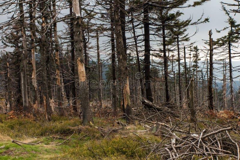 Сломленное дерево завяло вверху силезское Beskid в ar стоковая фотография