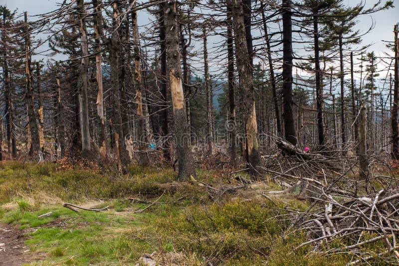 Сломленное дерево завяло вверху силезское Beskid в ar стоковые фото