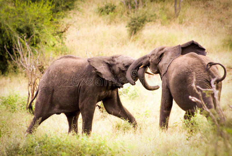 2 слона младенца африканских играя друг с другом стоковые фотографии rf