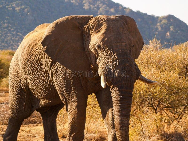 слоны Африки южные стоковые фото